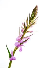 Dactylorhiza elata