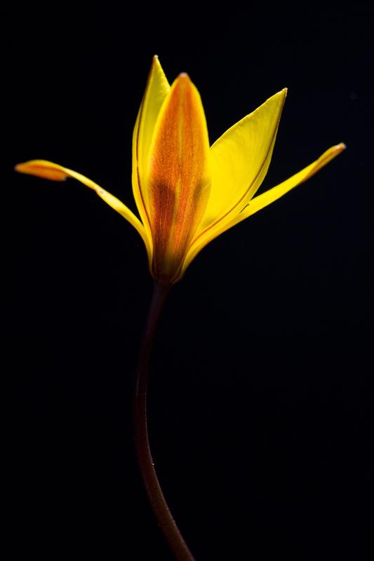 tulipasylvestris