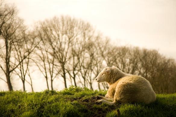 Belgian sheep